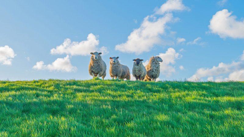 Geen schapen op de dijk tijdens stormseizoen